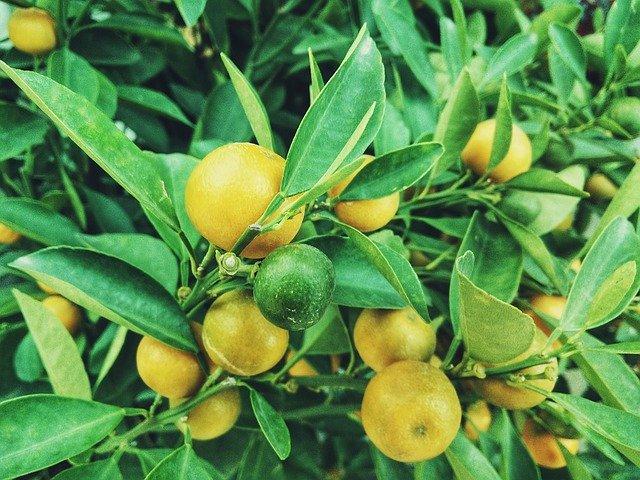 Vzgoja limone iz peške je preprostejša, kot ste mislili